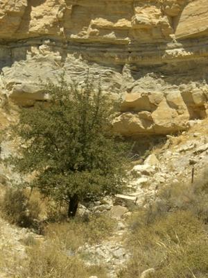 Blick auf den Olivenbaum hinter dem sich der Eingang in die Labyrinthhöhle befindet